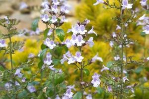 Phytotherapie Pflanzenheilkunde mit Kräutern